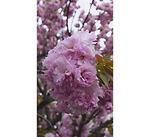 Cherry Blossoms [Washington DC] Photographic Print