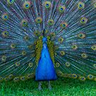 Peacock by Keith G. Hawley