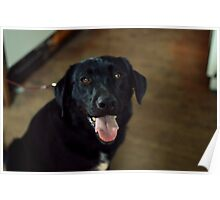 happy black lab Poster
