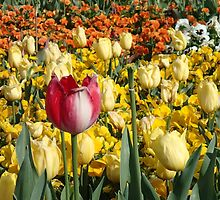 Tulips at Floriade by ozscottgeorge