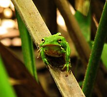 Tree Frog by Nathan Little
