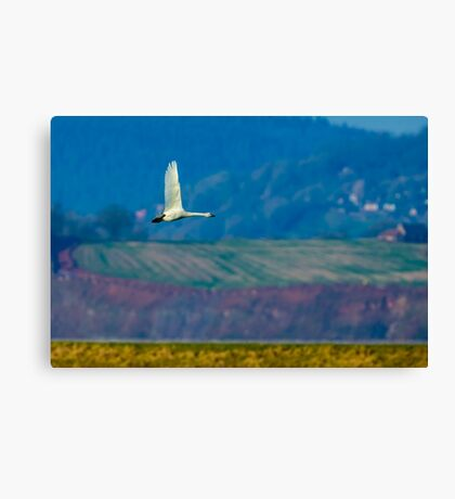 Bewicks Swan in flight Canvas Print