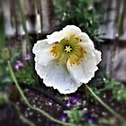 So long Summer...the last Iceland Poppy by Susan Littlefield