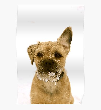 border terrier in the snow Poster