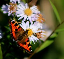 Red Admiral by EarlCVans