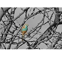 Blue Waxbill - Selective Beauty from Nature Photographic Print