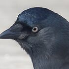 Just a Jackdaw...  by Thea 65