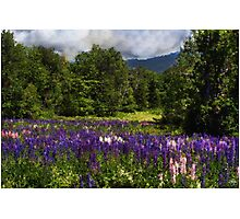 Lupine Impressions Photographic Print