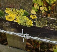 Fence With Lichen Moss And Barbed Wire by Jazzdenski