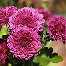 Purple Chrysanthemum by Linda  Makiej