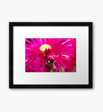 Hot Pink Ice Plant/Pigface Flower Framed Print