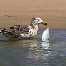 Juvenile Pacific Gull with Fish by mncphotography