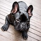 Enzo the Frenchie by ruthlessphotos