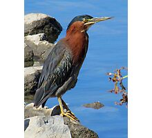 I'm a Little Green (Heron) Photographic Print