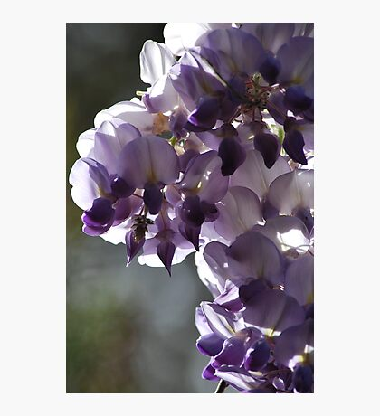 Wysteria By Lorraine McCarthy Photographic Print