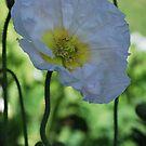 White Poppy By Lorraine McCarthy by Lozzar Flowers & Art