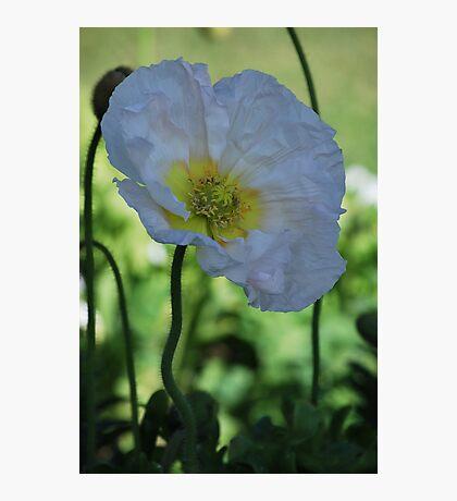 White Poppy By Lorraine McCarthy Photographic Print