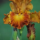 Yellow and Brown Iris by Lozzar Flowers & Art