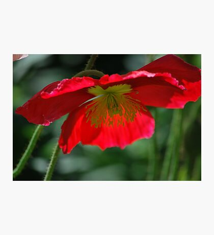 Red Poppy By Lorraine McCarthy Photographic Print