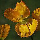Yellow Poppy By Lorraine McCarthy by Lozzar Flowers & Art