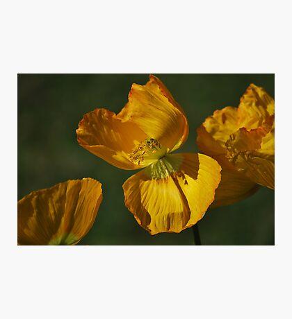 Yellow Poppy By Lorraine McCarthy Photographic Print