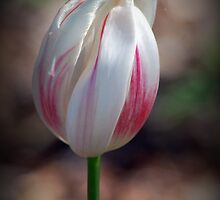 Tulip Satina By Lorraine McCarthy by Lozzar Flowers & Art