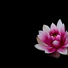 Pink Water Lily 2 by Rebecca Cozart