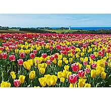 Sea of Tulips Photographic Print