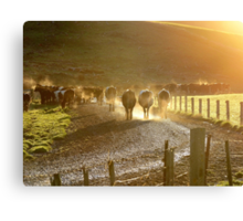 Early Milkers - Dairy NZ Canvas Print