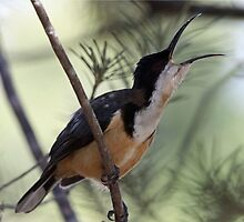 Eastern Spinebill by triciaoshea