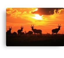 Red Hartebeest - Freedom is Golden - African Wildlife Canvas Print