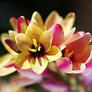 Happy and Bright Ixia by Joy Watson