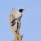 Black-faced Cuckoo-shrike by John Sharp