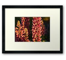 Hot Pink Lupines From My Mother's Garden Framed Print