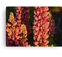 Hot Pink Lupines From My Mother's Garden Canvas Print