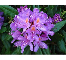 Pink Chrysanthemum Photographic Print