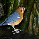 Colourful Bird by Country  Pursuits