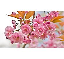 Sakura cherry-blossoms Photographic Print