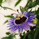 Purple Haze Passiflora by jojobob