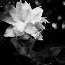 Artic Queen 2 - Clematis - Black and White Photography  by PB-SecretGarden