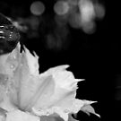 Artic Queen - Clematis 05 - Black and White Photography by PB-SecretGarden