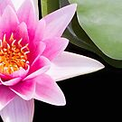 Water Lilies by Rebecca Cozart