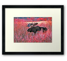 BULL MOOSE,YELLOWSTONE NP Framed Print