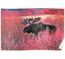 BULL MOOSE,YELLOWSTONE NP Poster