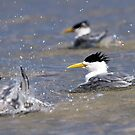 Crested Terns Having a Bath by mncphotography