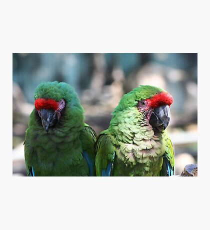 Military Macaw Photographic Print