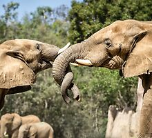 Elephant Fight by Robby Ticknor