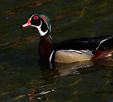 Wood Duck #3  by Kane Slater