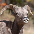 Bighorn Sheep in the fall by Eivor Kuchta