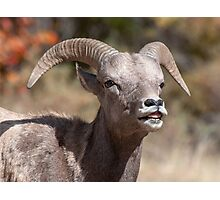 Bighorn Sheep in the fall Photographic Print